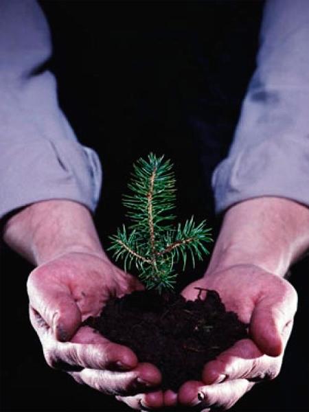 На 11-й станции Фонтана высадили хвойные деревья